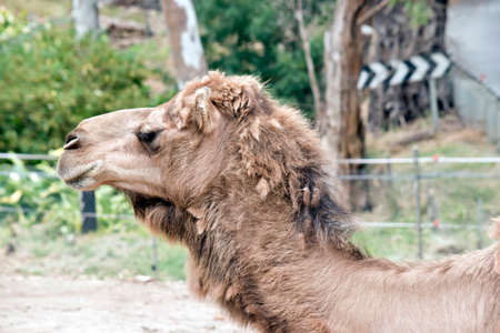 this is  a close up of a camel