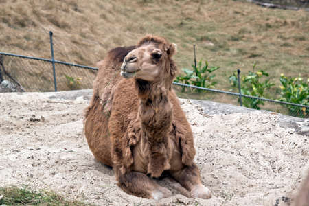 the camel is eating grass and resting