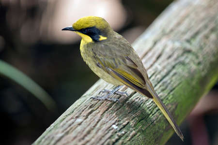 the yellow tufted honeyeater is perched on a tree branch Stock fotó