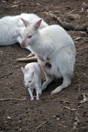 the albino wallaby joey  is exploring his environment