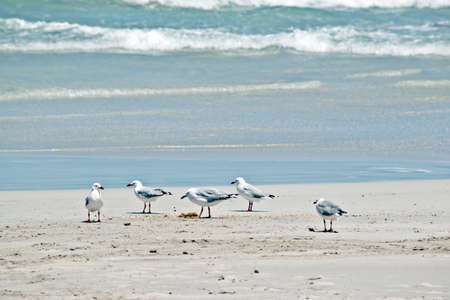 the sea gulls are on the beach searching for food Stock Photo