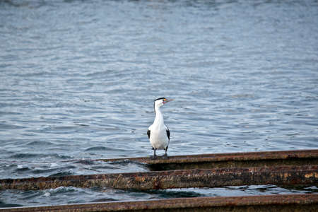 the pied cormorant is standing on rails Stok Fotoğraf