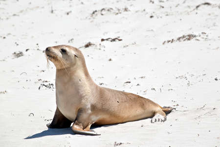 the sea lion is walking along the beach at Seal Bay