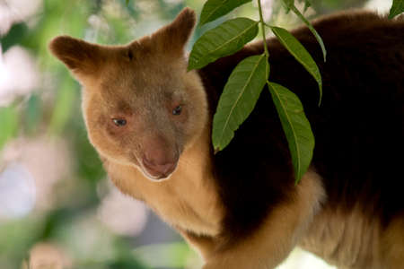 this is a  close up of a tree kangaroo Stock Photo