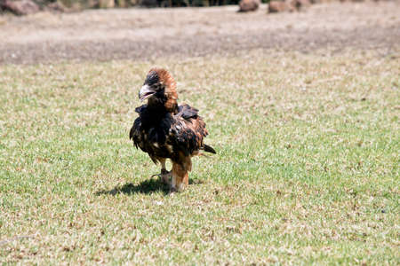 the black breasted buzzard is walking on grass