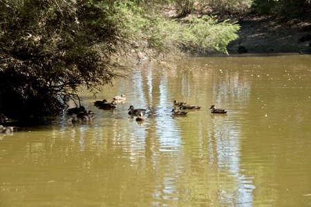 the group of pacific black ducks are swimming in the billabong