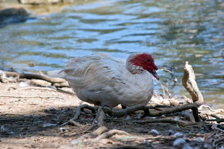 the muscovy duck has red wattles or caruncles on its face which makes it look ugly