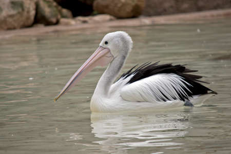the Australian pelican is swimming in a lake
