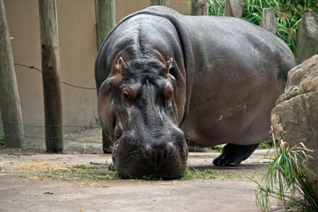 this is a close up of a hippopotamus eating 스톡 콘텐츠