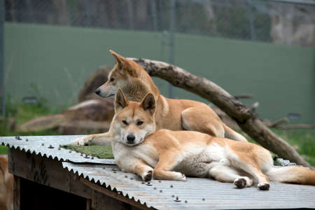 the two golden dingos are resting on a tin roof Stock Photo
