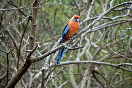 the crimson rosella is perched on a bush
