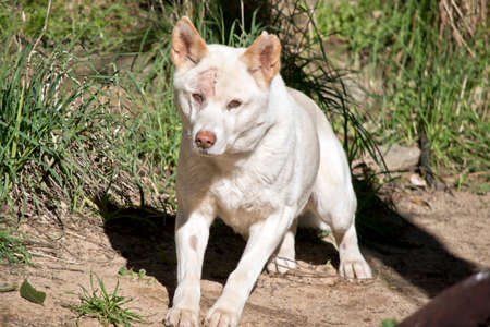 the white dingo is stretching his legs