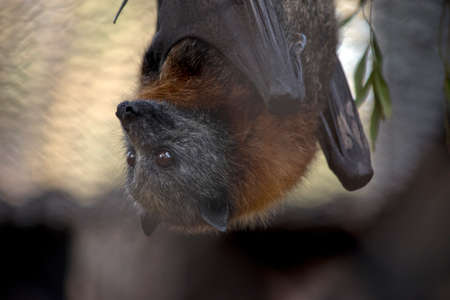this is a close up of an Australian fruit bat Archivio Fotografico
