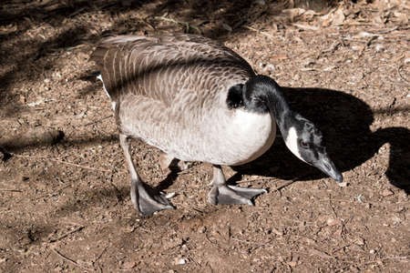 the Canadian goose is walking with its head down