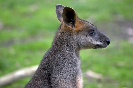this is a close up of a  swamp wallaby Stock Photo