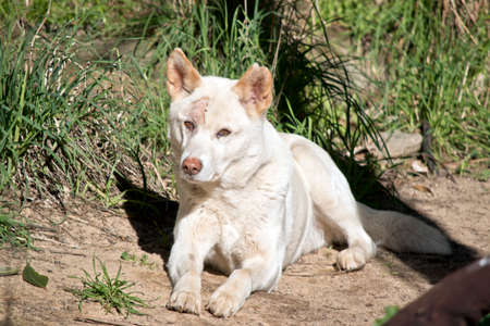 the white dingo is resting on the ground