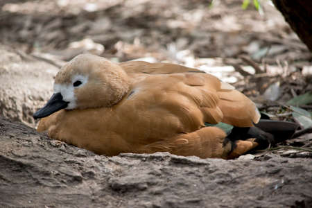 this is a side view of an Egyptian goose 版權商用圖片
