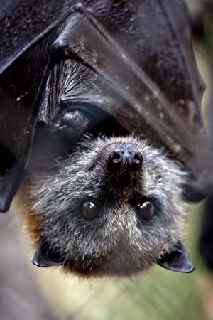 the Australian fruit bat is hangiing upside down