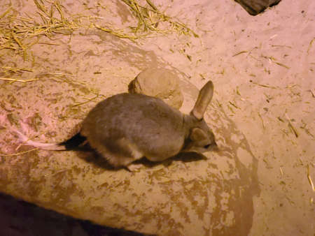the bilby is on the endangered list it looks like a rabbit