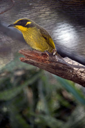 the yellow tufted honey eater is perched on a broken branch