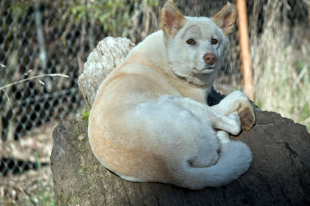 the white dingo is resting on a log Stock Photo