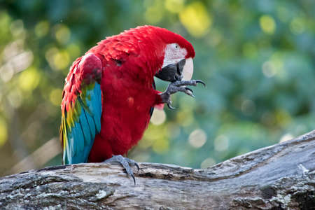 the scarlet macaw is eating a meal worm Фото со стока