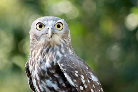 this is a close up of a barking owl