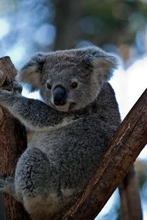the Australian koala is in the fork of a tree Stock Photo