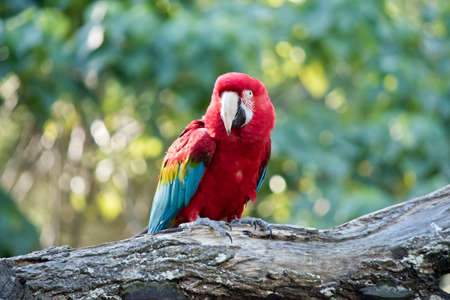 the scarlet macaw is perched on a log