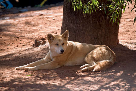 the golden dingo is resting in the shade of a tree Stock Photo