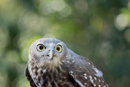 this is a close up of barking owl Stock Photo