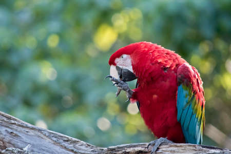 the scarlet macaw is eating a meal worm 写真素材 - 106046833