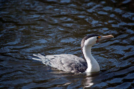 the pied cormorant is swimming in the river 写真素材