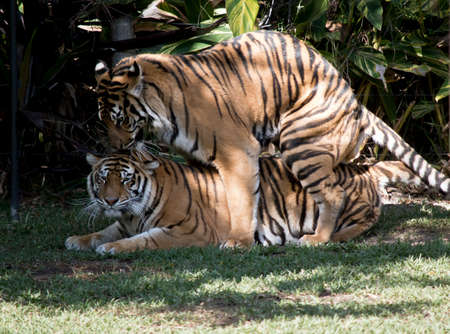the tigers are mating on the grass