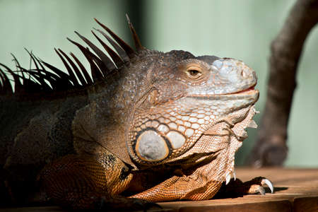 the green iguana has spikes down its spine