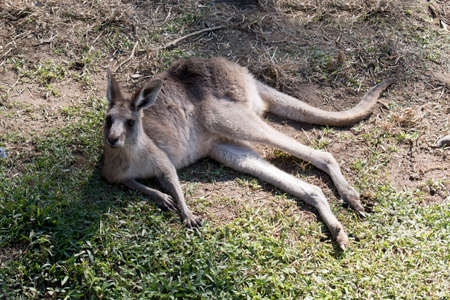 this is a joey eastern grey kangaroo resting on the grass