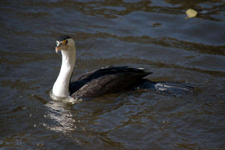 the pied cormorant is swimming in the river Stock Photo