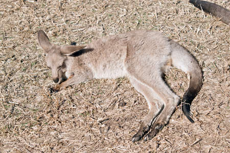 the eastern grey joey is resting on hay Stock Photo