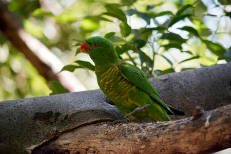 the scaly breasted  lorikeet is perched on a tree