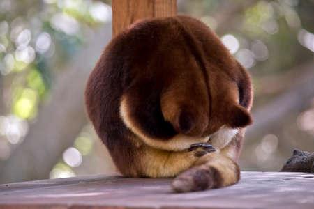 the tree kangaroo has rolled up into a ball to sleep Stock Photo