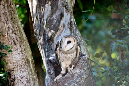 the masked owl is emerging from the hollow of a tree