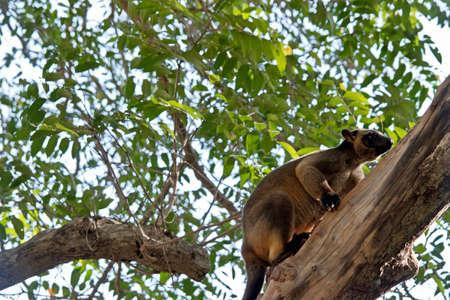 the Lumholtz's tree kangaroo is climbing up a tree
