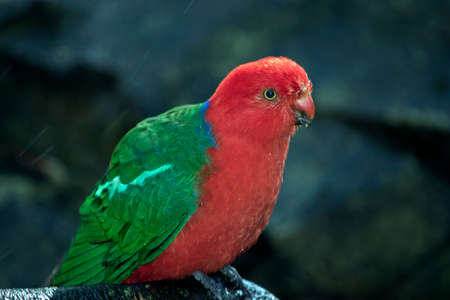 this is a close up of an Australian king parrot Stock Photo