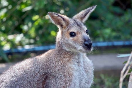 this is a close up of an agile wallaby Foto de archivo