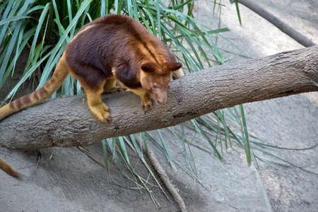 the tree kangaroo is climbing up a tree