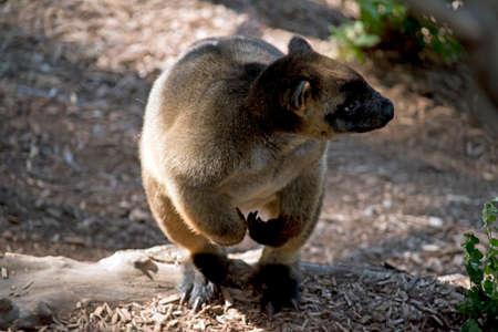 close up of a Lumholtzs tree kangaroo