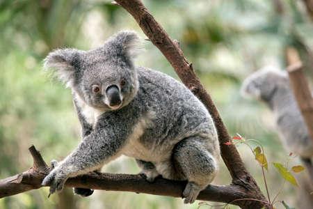 the joey koala is walking on a tree branch