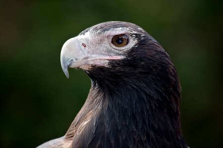 close up of a wedge tailed eagle