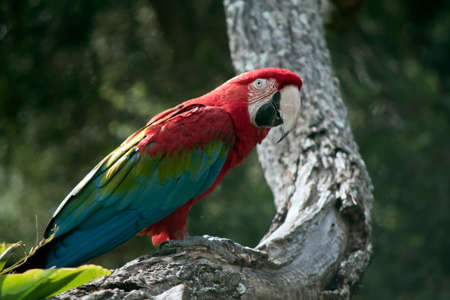 the scarlet macaw is perched in a tree Фото со стока