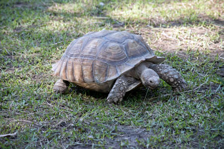 the African spurred tortoise is walking on the grass eating